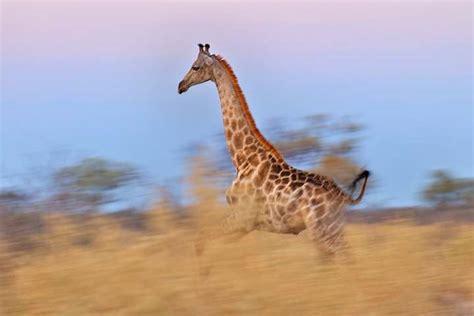 ¿Qué comen las jirafas? » Respuestas.tips