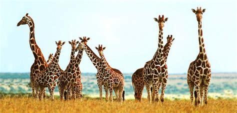 ¿Qué comen las jirafas? – Respuestas.Tips