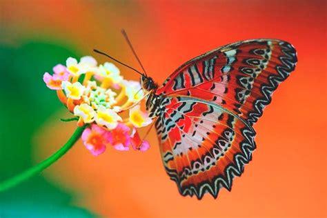 ¿Qué comen las mariposas?