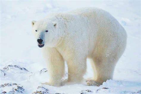 ¿Qué comen los osos polares?