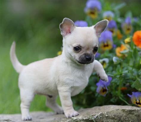 Que Comen Los Perros Chihuahua?   Donde Viven, Como Nacen