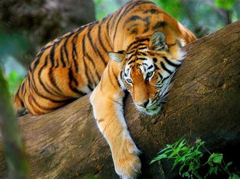 Que Comen Los Tigres?   Donde Viven, Como Nacen