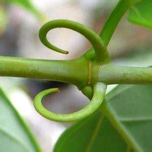 ¿Qué enfermedades cura la planta uña de gato?, ¿Qué cura ...
