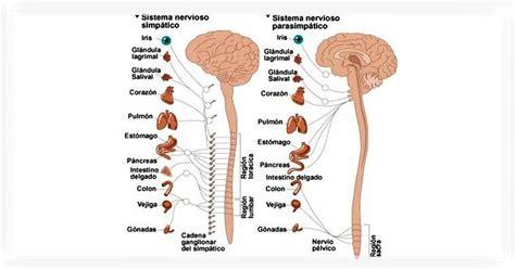 ¿Qué es el sistema nervioso autónomo? - Noticias - Beyerfisio