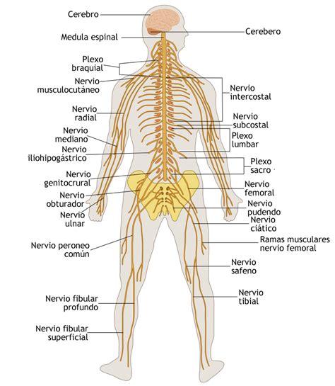 ¿Qué es el sistema nervioso humano? | mundonets