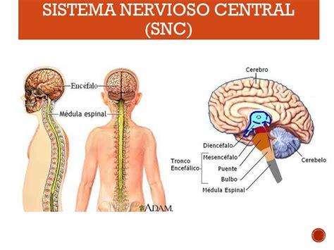 ¿Qué es el sistema nervioso? ¿Que función cumple?   ppt ...