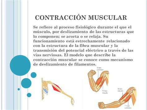 que es la contraccion muscular contracci 211 n muscular ...