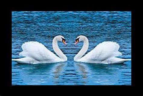 ¿Qué significado tiene soñar con un cisne?   Paperblog