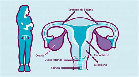 ¿Qué son los ovarios?   Roche Pacientes