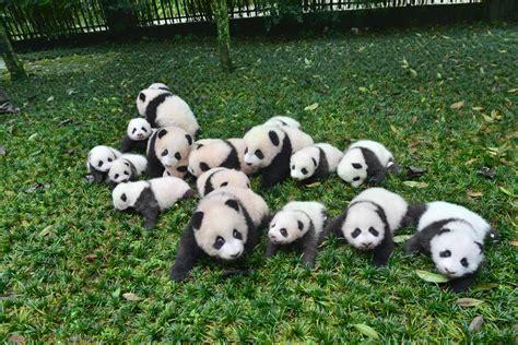 ¡Qué ternura! Nacen 13 osos panda en China   Foto 1