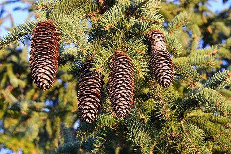 ¿Qué tipos de pino hay?   Comunidad Leroy Merlin