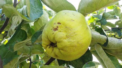 Quince Fruit Tree | www.pixshark.com - Images Galleries ...