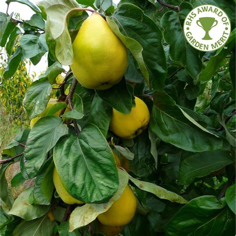 Quince Vranja | Buy Quince Tree | Purchase Quince Fruit Trees