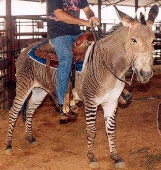 Quintómera: ¿Una cebra se puede reproducir con un burro o ...