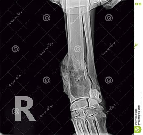 Radiografía De La Pata Delantera Del Tumor Del Hueso Del ...