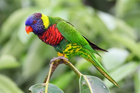 Rainbow lorikeet   Wikipedia