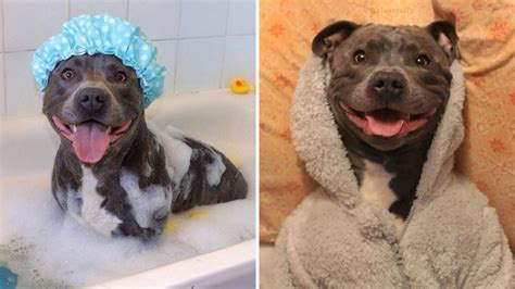 Ramsey the blue Staffordshire bull terrier has more ...