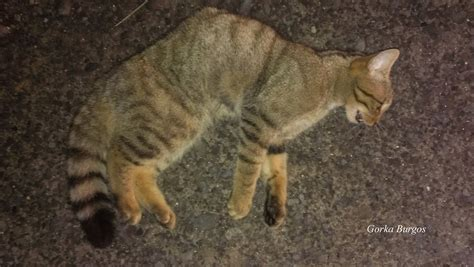 RAPACES Y CARNÍVOROS DE BIZKAIA: El Gato Montés