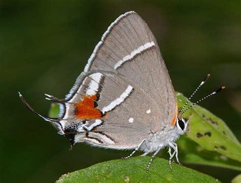Raras mariposas son declaradas en peligro de extinción ...