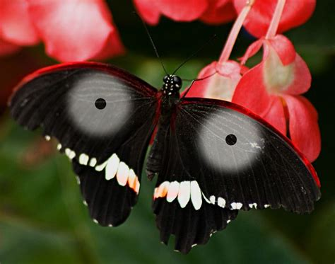 -Rare Jagannath Butterfly | Butterflies and Dragonflies ...