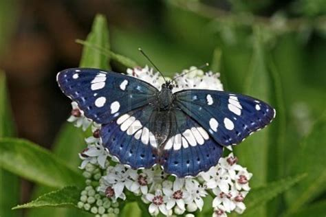 rare southern white admiral | Butterflies | Pinterest
