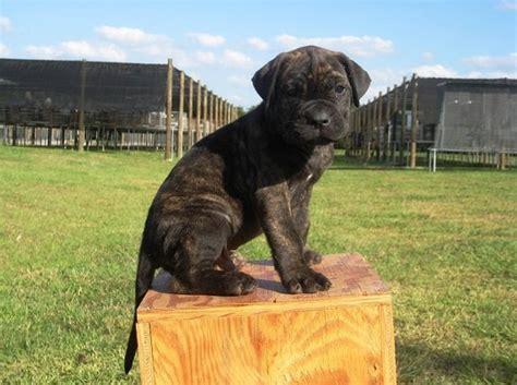 Razas de Perros: Perro presa canario caracteristicas ...