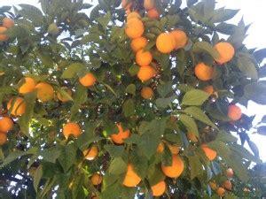 Receta de mermelada de naranja amarga