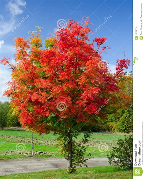 Red Acacia Tree Royalty Free Stock Images   Image: 27059339