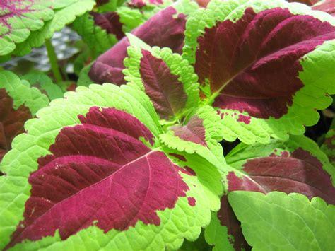 Red And Green Leaf Plant | www.pixshark.com - Images ...