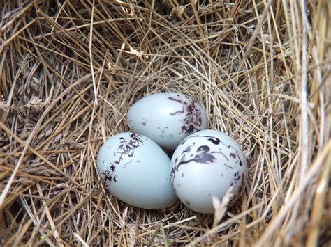 Red-winged Blackbird Eggs | Curiousfarmer