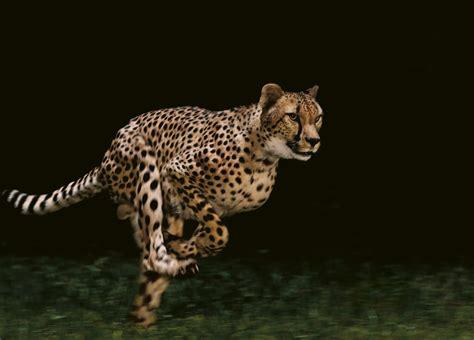 Reportajes y fotografías de Guepardos en National Geographic