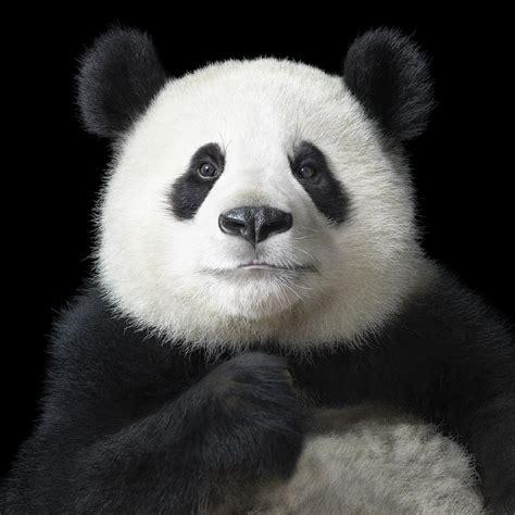 Reportajes y fotografías de Osos Panda en National Geographic