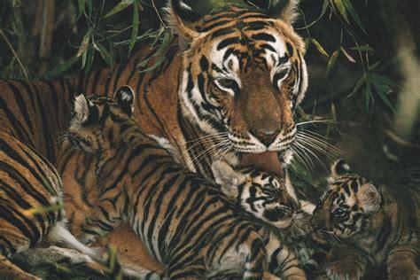 Reportajes y fotografías de Tigre en National Geographic