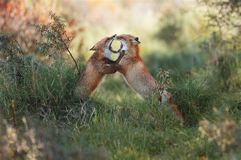 Reportajes y fotografías de Zorro en National Geographic