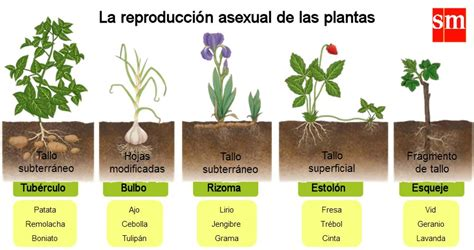 reproduccion asexual de las plantas   Buscar con Google ...