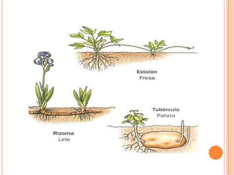 Reproducción asexual de las plantas.