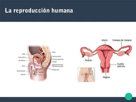 reproduccion humana la reproducci 243 n humana