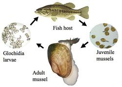 Reproduction/Development - Zebra Mussel