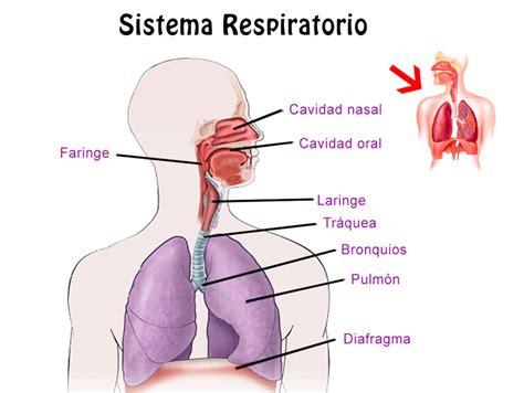 Resumen del Sistema Respiratorio: órganos, características ...