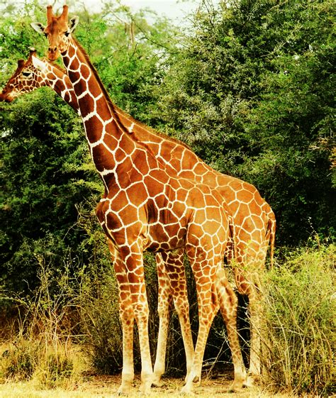 Reticulated giraffe   Wikipedia