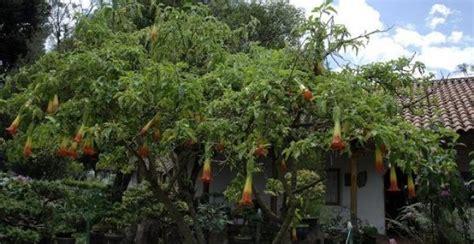 Retiran plantas de burundanga de un jardín comunitario en ...