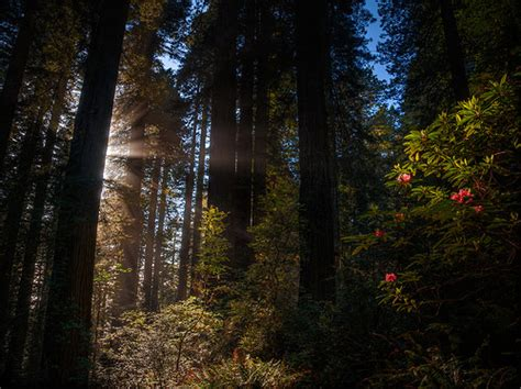 Rhododendrons and Redwoods of Del Norte County, California ...