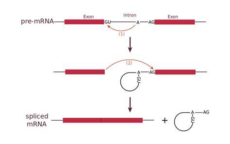 RNA splicing   Wikipedia