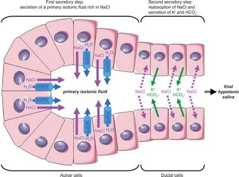 Role of aquaporins in saliva secretion.OA Biochemistry