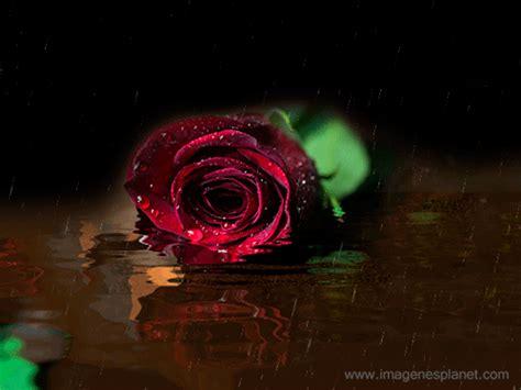 Rosa animada con agua y lluvia   Imágenes de Amor con ...