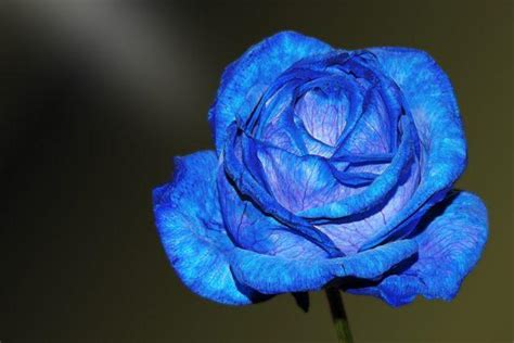 Rosas azules ¿Cuál es su significado? - Tendenzias.com