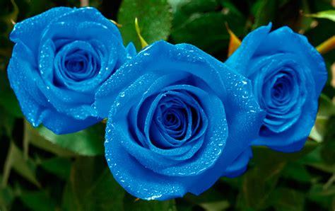 Rosas azules   Florpedia.com