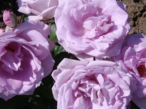 Rosas Azules. Significado de las Rosas Azules. Rosas ...