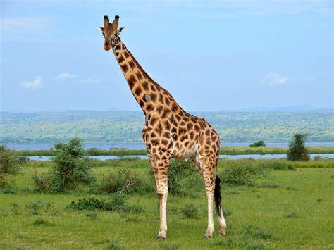 Rothschild's Giraffe (Giraffa camelopardalis rothschildi ...