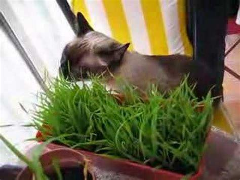 roy comiendoo hierba gatera - YouTube